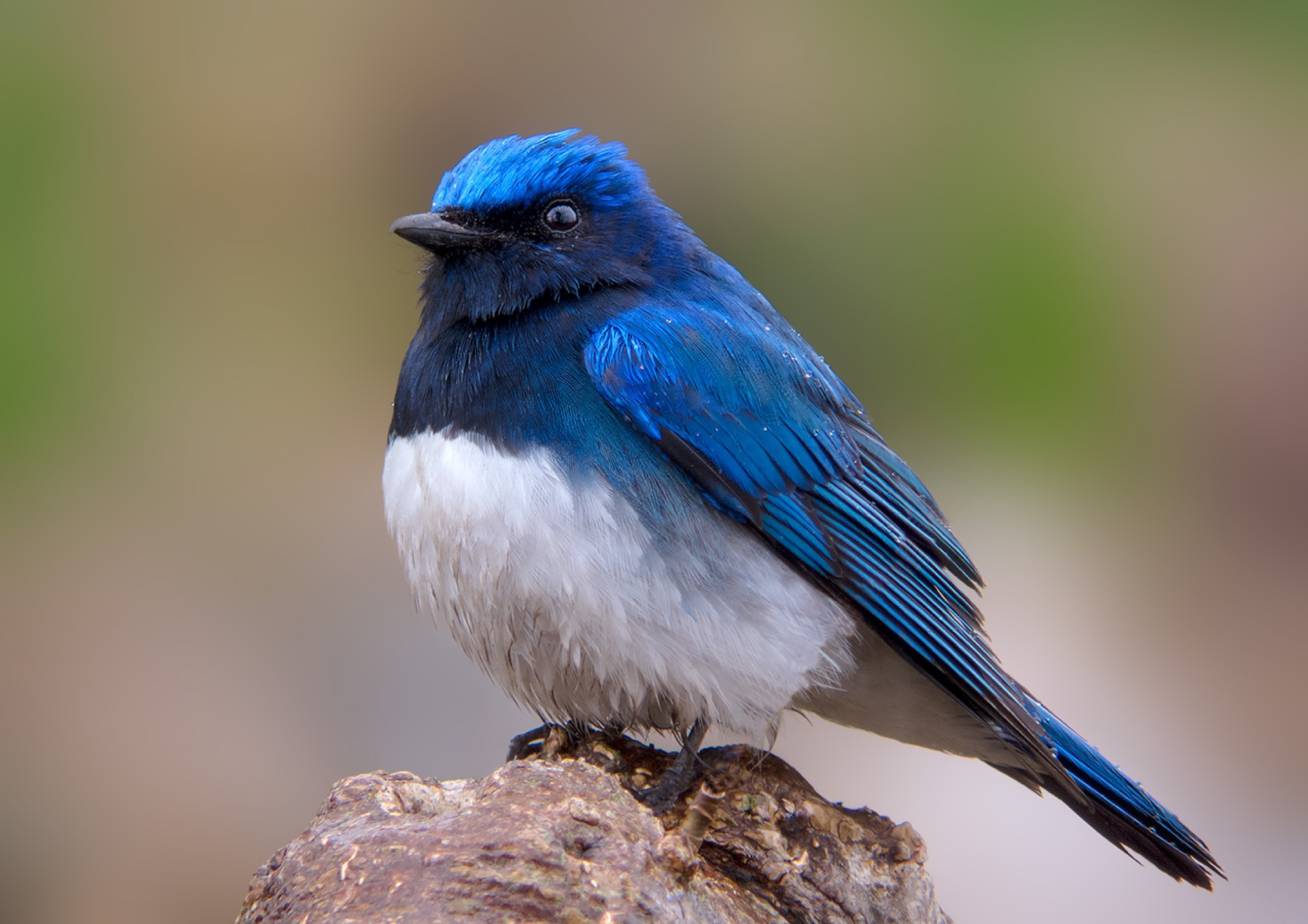 The Blue and White Flycatcher