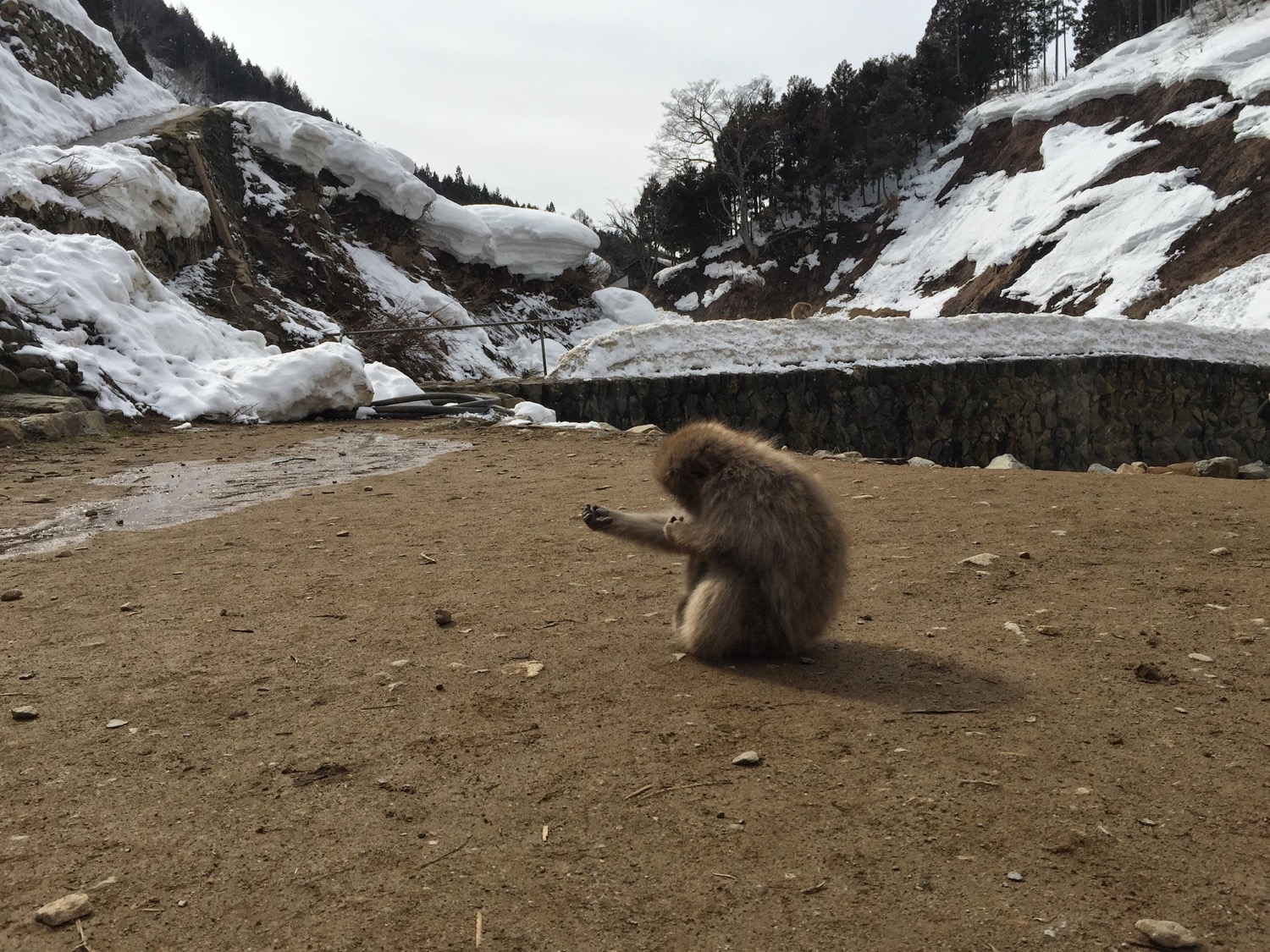 Snow monkey at the onsen