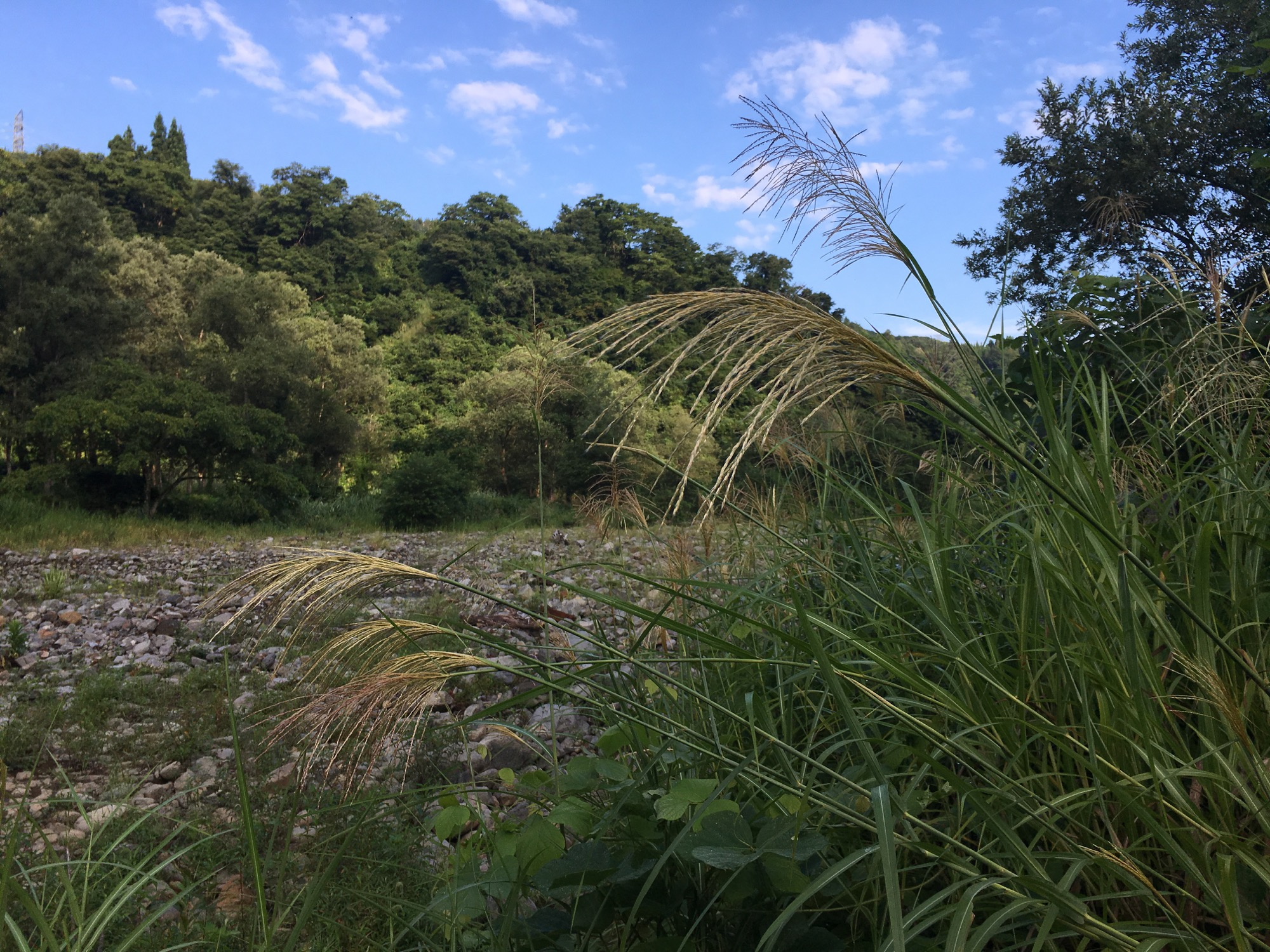 Susuki grass in all their glory