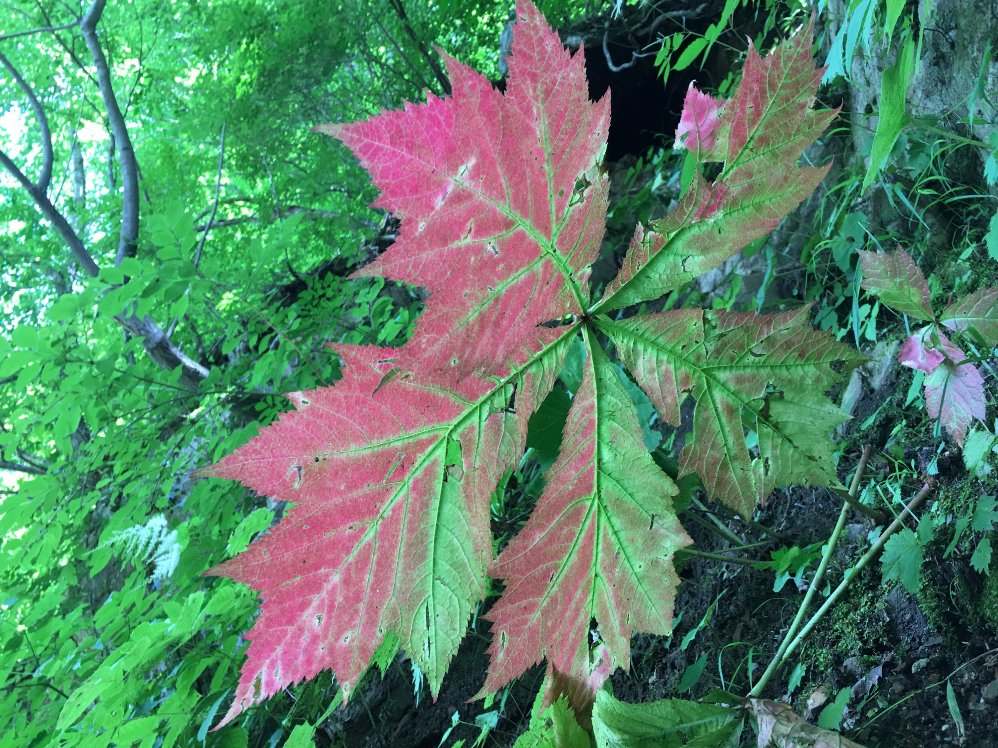A rather large leaf turning from green to red